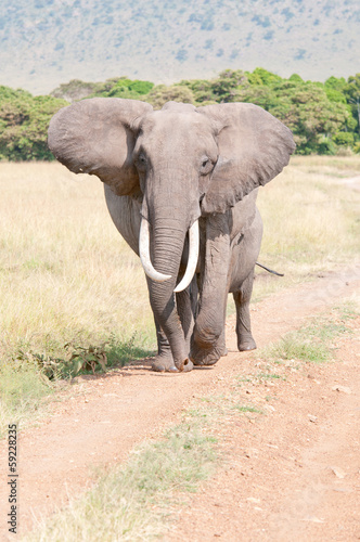 elephant walking on the road in the national park masai mara