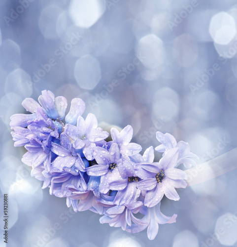 Papiers peints Lilac hyacinth