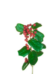 Christmas holly branch on white