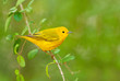 Yellow Warbler, male, Green background
