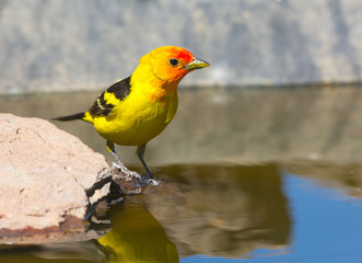 Western Tanager Drinking Water