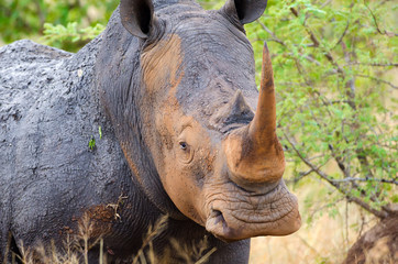 White Rhinoceros, Kruger National Park, South Africa