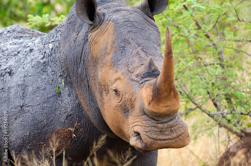 White Rhinoceros, Kruger National Park, South Africa