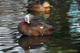 feral muscovy duck poster