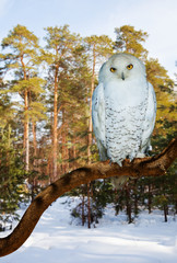 Snowy Owl at pine forest in winter