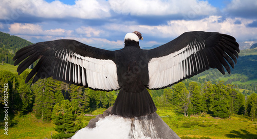 Andean condor in wildness area