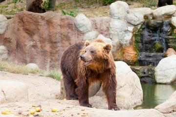 Big Kamchatka brown bear among stones in the wood