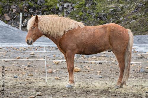 Poster Paardrijden Icelandic horses