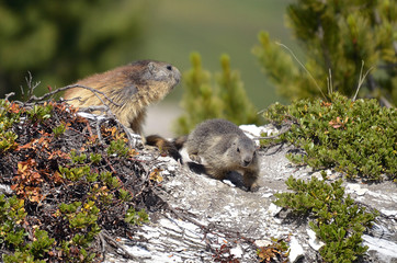 Alpine marmot and its young