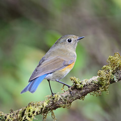 female Himalayan Bluetail