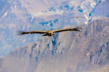 Flying condor over Colca canyon,Peru,South America.