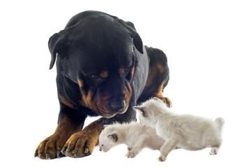 rottweiler et chatons
