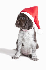 Small Munsterlander puppy with a Santa hat