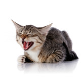 Striped mewing cat. poster