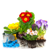 spring flowers primula, crocus and hyacinth on white