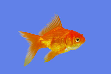 Gold fish on blue