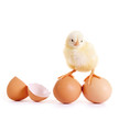 Kleines Küken auf Eiern