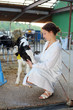 Beautiful woman in white robe caresses small cute calf