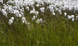 Arctic cotton-grass in Iceland.