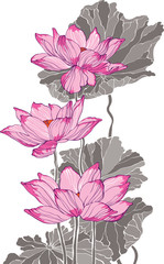 Three big pink vector lotus on white background