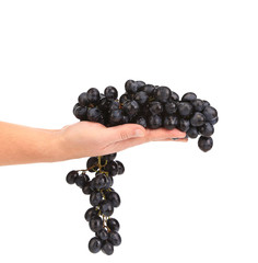 Branch of black ripe grapes on hand.