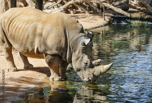 Rhinoceros drinking at a lakeside