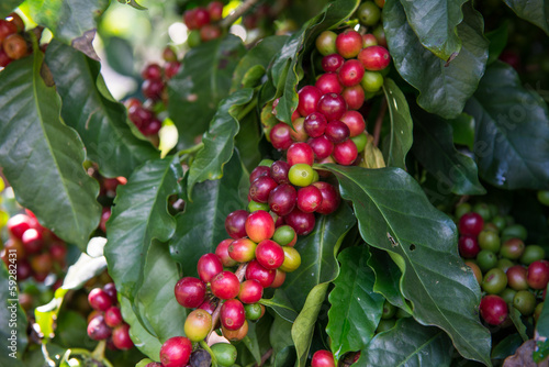 Unripe Coffee beans  on tree