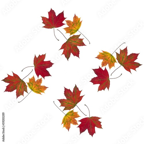 multicolor leaves of maple tree as background
