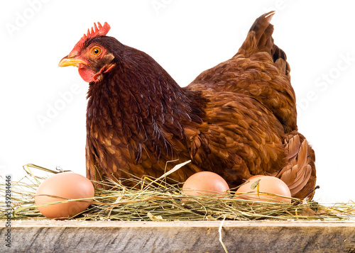 Fotobehang Kip Hen in hay with eggs isolated on white