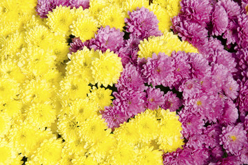 The pink and yellow chrysanthemums - background.