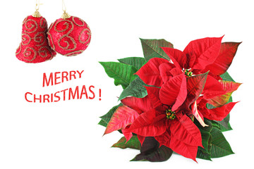 Christmas card with beautiful red poinsettia