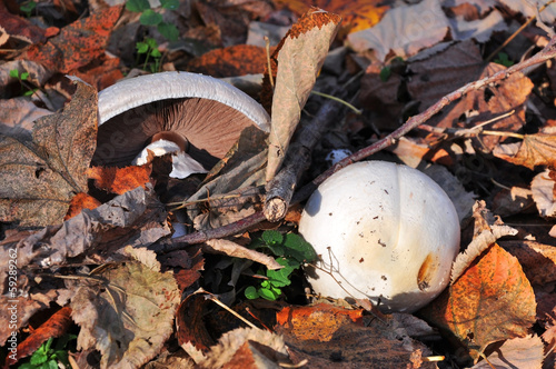 Autumn wild mushrooms,edible,reddish