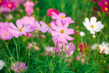Pink Cosmos flower family compositae
