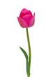 pink tulip isolated on white background