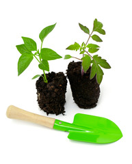 tomato and paprika seedlings and gardening tools