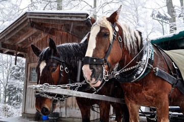 Two horses covered with snow