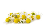 Medical Chamomile isolated