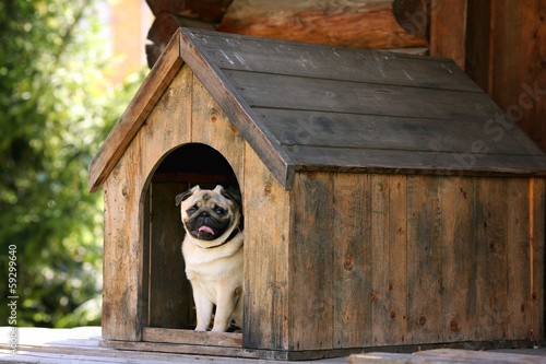 In de dag Hond Funny pug dog in the dog house