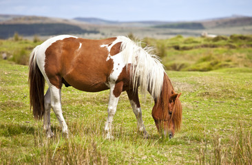Dartmoor National Park Pony