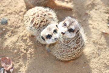 Suricate, Meerkat