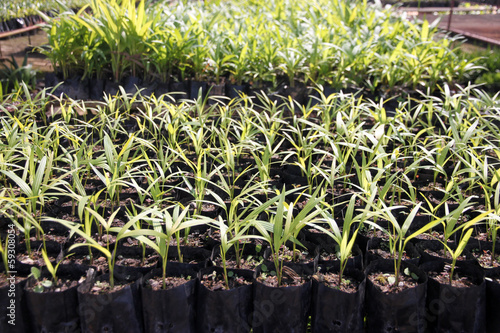 Palm Seedlings.