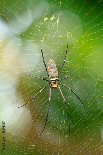 nephila golden orb spider