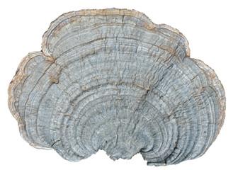 Mushroom (bracket-fungus) 5