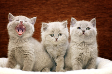 Group of cute gray British kittens
