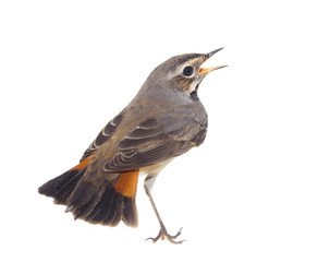 blue-throated robin bird isolated