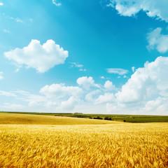 golden harvest and blue sky