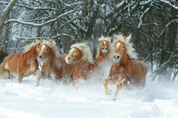 Batch of haflingers together in winter