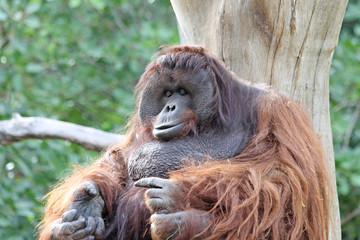 TIERE_1815_Affe_Borneo-Orang-Utan