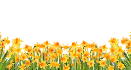Glade daffodils. Isolated