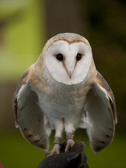 Portrait of a barn owl (Tyto alba) ready for flight